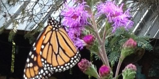 Gardening 4 Monarchs - creating desirable habitat for these special bugs.