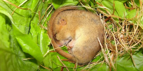 Dormouse Ecology & Conservation - Callow Rock, Somerset tickets