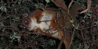 Bush Explorers - Spotlighting Animals of the Night Tour