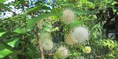 Bullet-proof Native Plants for New Orleans Gardens