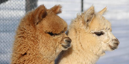 What to Look For When Buying Alpacas