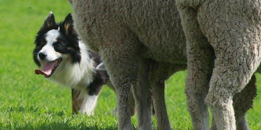 2019 Meeker Classic Sheepdog Championship Trials