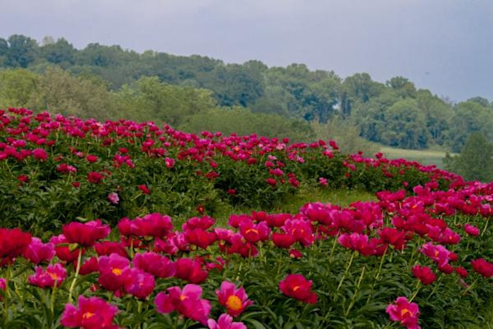 Styer's Festival of the Peony image