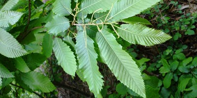 Introduction to Tree Identification (Part 2: Leaves)