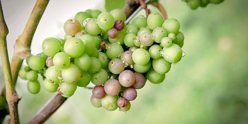 Art of Growing Grapes for Wine