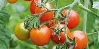 Adopt-A-Tomato