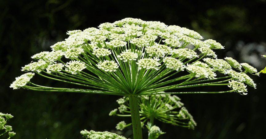 Control of Giant Hogweed, and other invasive