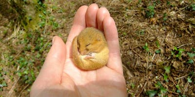 Dormouse Ecology & Conservation - Basildon Park, Reading
