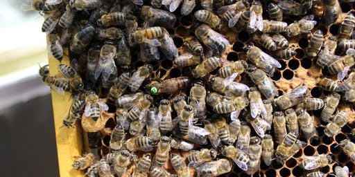 Honey Bee Behaviour (Stoneleigh)