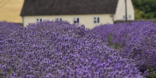 Lavender Field Photo Shoots with Fiona Legge Photography