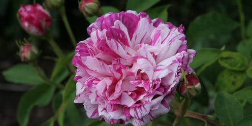 THE ROSE MASTERCLASS: Illustrated Talk and Discussion Group with Thomas Stone
