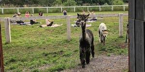 Yoga with Alpacas in Prince Edward County Summer 2019