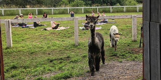 Yoga with Alpacas in Prince Edward County Summer 2019