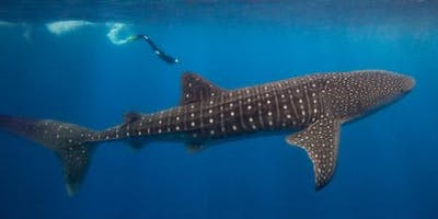 Swimming with Whale Sharks Wednesday