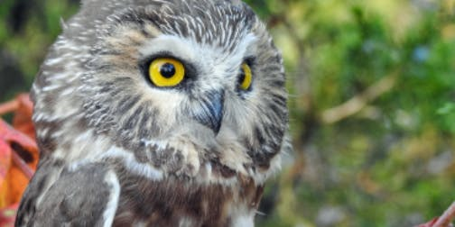 Saw-whet Owl Banding - Migration Matters