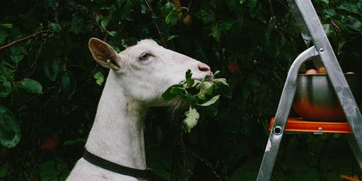 Meet The Gartur Stitch Goats