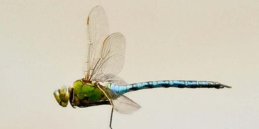 Dragonflies and Other Insects at Kibbleworth
