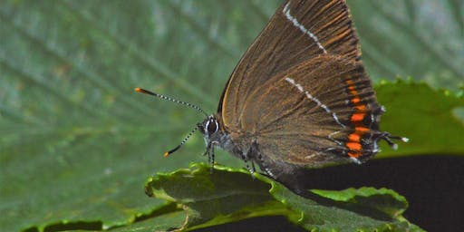 Purple and White-letter Hairstreak Spotting
