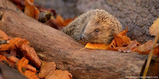 Nature tots: Hedgehogs and hibernation