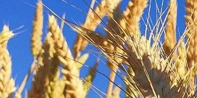 Graan oogsten
