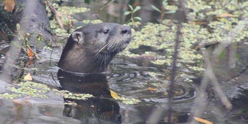 Wildlife Wednesdays Webinar Series: Florida's River Otters