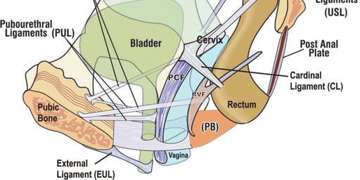 The Functional Female Pelvic Floor - For Physiotherapists