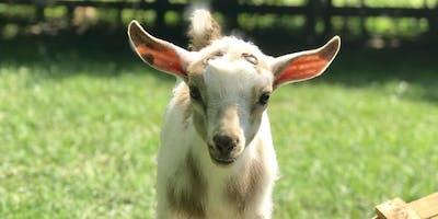Goat Yoga Nashville- Marvelous May