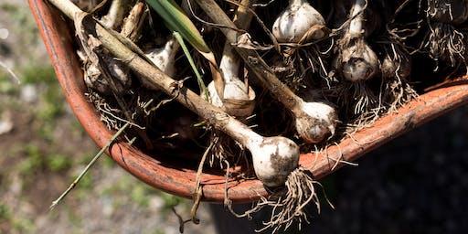 Hendrick Farm Volunteer Day - Garlic Harvest