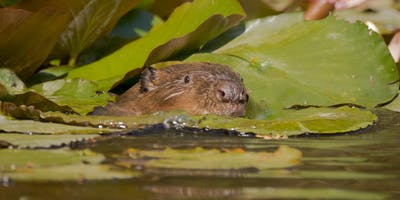 Cornwall Beaver Project Guided Walk - Groups of up to 20