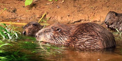 Ben  Goldfarb: The return of the beaver - why does it matter?