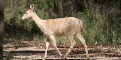 Deer in Greater Sydney