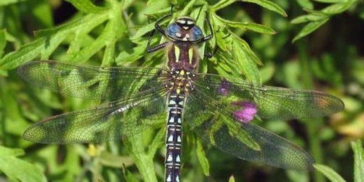 Nature Walk: Dragonflies at Sheffield and Tinsley Canal