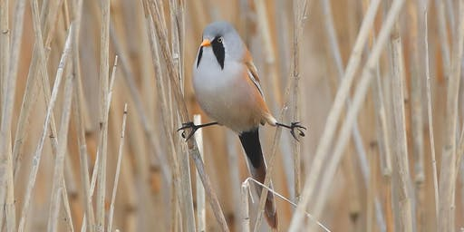 Walks with Wardens - Bearded Tit Bonanza at RSPB Ham Wall