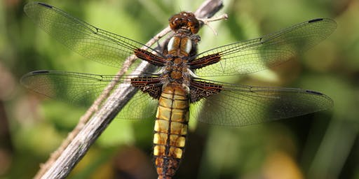 Dragonfly and Damselfly Identification