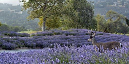 2019 Carmel Valley Ranch Lavender Harvest Festival