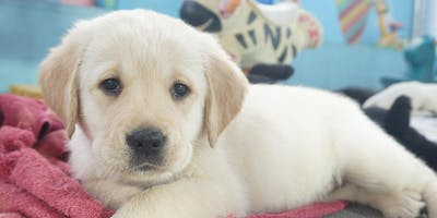 Puppy Carer Info Session: Geelong May 8