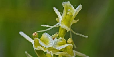 Fen Orchid Discovery at RSPB Sutton Fen