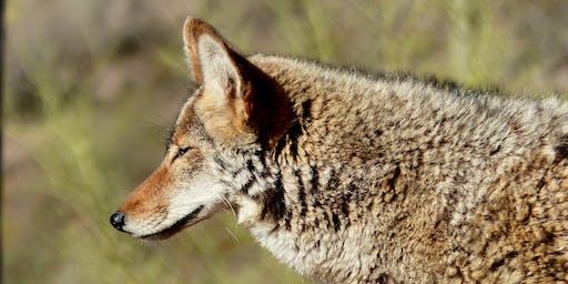 Coexister avec le coyote