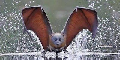 Micro Bats of the Fraser Coast - Maryborough