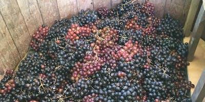 Cherry Valley Vineyards Summer Grape Stomp~7/27