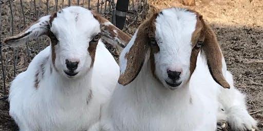 MSPCA Charity Goat Yoga
