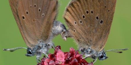 Découverte de la vie des papillons azurés Maculinea billets