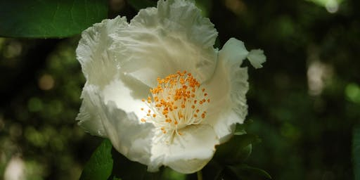 Quest for the Elusive Mountain Camellia