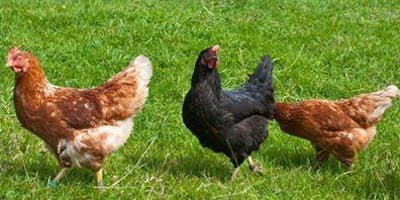Green Living Workshop: Keeping Backyard Chickens