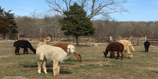 Yoga with our Alpacas