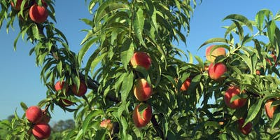 Lunch & Learn: Growing Fruit Trees in Your Yard