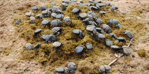 What can dung beetles can do for you?