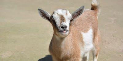 Goat Yoga @ Rockbrook Village