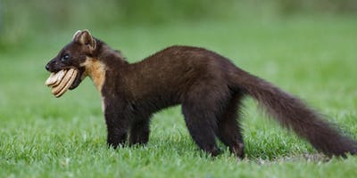 The Return of the Pine Marten