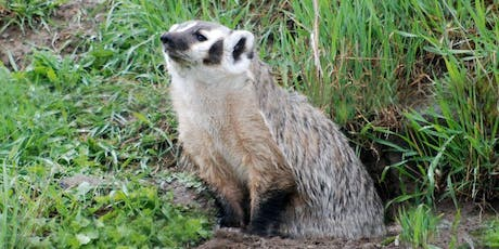 Badgers in your Backyard – A Glimpse into the Ecology of an Important Grassland Predator tickets